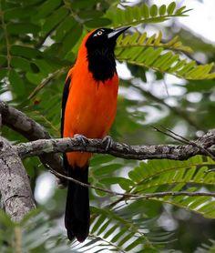 Pássaros Exóticos: Corrupião