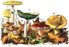 Определитель грибов, как отличить съедобные грибы, как отличить ядовитые грибы…