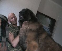Hercules, an affectionate Leonberger from Sweden loves to give hugs and kisses. (Note, his owner is 6' 1 feet tall, 230 pounds).  Related: Big cuddly dogs love to be carried around (Photos) Cuddly St. Bernard loves being lap dog (Video) Irish Wolfhounds give grandmother warm welcome (Video) Lap dogs are family (Photos)