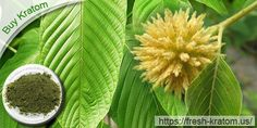 Buy Kratom leaves can be grown with attention, care and fertilisers.