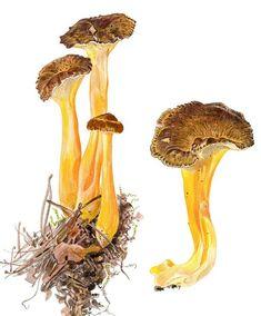 Vielä ehdit metsään: Näin löydät sienet Fungi, Stuffed Mushrooms, Vegetables, Food, Stuff Mushrooms, Mushrooms, Essen, Vegetable Recipes, Meals