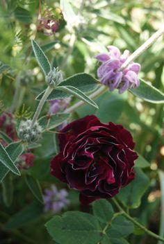 Hybrid Perpetual Rose: Rosa 'Baron Girod de l'Ain' (France, 1897)