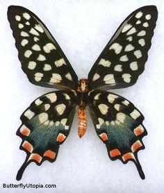 Madagascan Giant Swallowtail Pharmacophagus  (Papilio antenor)