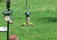 Gold Finches having Sunday brunch!