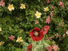 Poppy with mutabilis rose