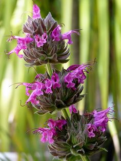 Salvia spathacea - Hummingbird Sage (Native Plant)