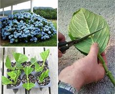 How to Grow Hydrangea from Cuttings Hydrangeas are flowering deciduous plants that can range in size from small bushes to larger tree-like varieties. If you want to grow your own hydrangea plants, you can produce new specimens by growing hydrangeas from c Hortensia Hydrangea, Hydrangea Bush, Hydrangea Care, Hydrangea Plant, Growing Hydrangea, Hydrangea Varieties, Hydrangea Seeds, Container Gardening, Gardening Tips