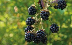 You Pick Blackberries at Justus Orchard, Hendersonville NC Blackberry Bush, Fruit Bushes, Bush Garden, The Brambles, Forest Garden, Gardening Tips, Perennials, Garden Design, Compost