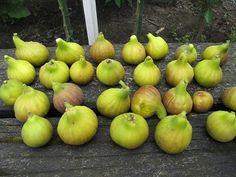 Vijg oogst Ficus, Fruit, Vegetables, Veggie Food, Fig, Vegetable Recipes, Figs, Veggies