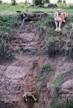 Une Belle Histoire ... Une Lionne dont le Petit est en Danger, Tombé plus Bas sur une Falaise, appelle ses Copines à la Rescousse. L'une d'entre elles parviendra à Descendre jusqu'au Lionceau et le remontra auprès de sa Mère. Gros Bisou Final
