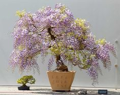 Japanese Wisteria Bonsai Tree ♥