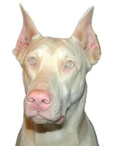 Know the facts about Albino Dobermans before you buy. Is this an approved Doberman color? Should you pay extra to breeder for this color of Doberman? Doberman For Sale, Black Doberman, Doberman Mix, Perro Doberman Pinscher, Doberman Colors, Albino Cat, Dog Test, Teacup Yorkie, Handmade Dog Collars