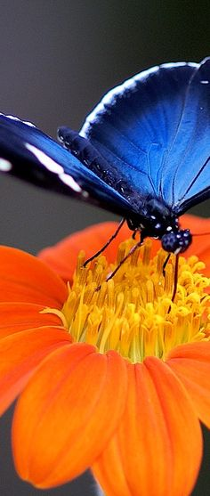 Blue Butterfly on an Orange Flower, enjoying Yellow nectar