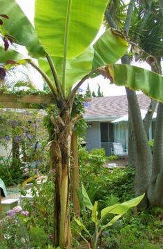 Poolside Plants That Look Like Paradise and Withstand the Elements: Backyard Banana Tree