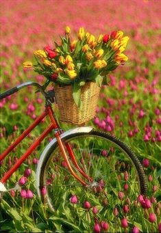 Upload your best active weather photos and videos or watch them in our new searchable gallery. Gardening Red Bike with a basket of tulips. Bicycle Basket, Old Bicycle, Bicycle Art, Bike Baskets, Retro Bicycle, Bike Planter, Vintage Bicycles, Beautiful Flowers, Spring