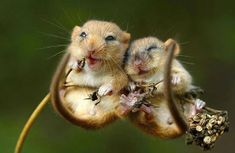 Two Giggly Field Mice - Dixie and Trixie