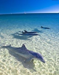 Orcas, Australia Travel, Western Australia, Queensland Australia, Melbourne Australia, Australia Occidental, Photo Animaliere, Ocean Creatures, Great Barrier Reef