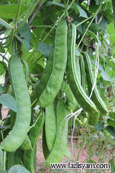 Sword bean or kacang parang (Canavalia gladiata)