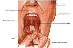 La orofaringe se inicia en el paladar blando y termina en el hueso hioides. La orofaringe recibe bolo alimenticio de la cavidad oral a través de la entrada de la orofaringe. La entrada tiene músculos palatoglosas que crean pliegues de la mucosa.