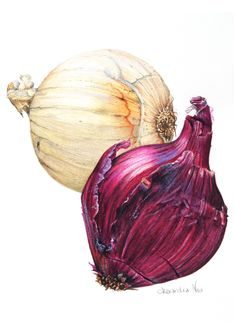 Botanical Illustration - The humble onion captured in pencil and watercolour
