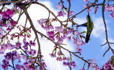 Beija-flor em uma flor de cerejeira, na Praça Central de Nova Petrópolis, no Rio Grande do Sul.Fonte:National Geografic Brasil.