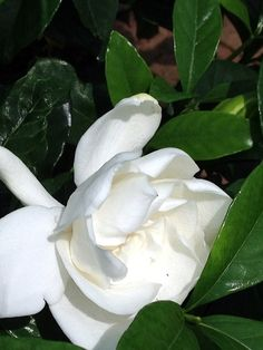 Fragrant but fussy?Gardenias are simple to grow if you meet their basic needs. Gardenia Care, Gardenia Bush, White Gardenia, Diy Garden, Garden Plants, Indoor Plants, House Plants, Indoor Garden, Gardenia Indoor