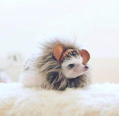 Hogybaby Dressed Up Like A Lion