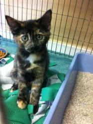 Mocha and Maya is an adoptable Domestic Medium Hair Cat in Saint Charles, MO. Hi! We are both girls. We are very playful and have lots of energy.   http://www.petfinder.com/petdetail/23755414