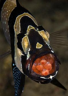 Bangaii cardinalfish, Pterapogon kauderni in the Lembeh Strait, Indonesia by Steven Kovacs. Place, Fish or Marine Animal Portrait in the 2010 Underwater Photography Contest Underwater Creatures, Underwater Life, Beneath The Sea, Under The Sea, Beautiful Sea Creatures, Weird Sea Creatures, Beautiful Fish, Sea And Ocean, Sea World