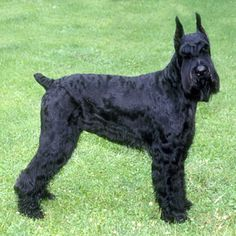 Giant Schnauzer || Tallest of the three Schnauzers, the Giant is a good-looking bearded dog that is thought to have originated in Bavaria near Munich, where it was called the Munchener. || Use today: Watchdog, herding || Life Span: 12-15 yrs || Color: Black or salt and pepper. || Height: 23.5 to 27.5 inches at the shoulder || Weight: Proportionate to height || AKC: Working Group || Brush weekly. Trim hair around eyes and ears every six weeks. Clip or hand strip as needed.