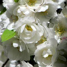 #WhiteWednesday #TheGreatWhite #MinimalEdit — #white #flowers #awesomeblossom #nature #beautiful #mythoughtsofspring #awesomeshots • LynnO on Streamzoo