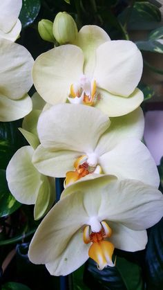 Orchids, Ballerinas, Orchid