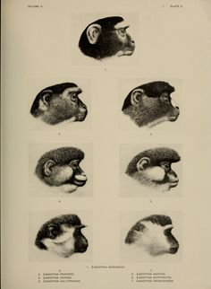 Lasiopyga. A review of the Primates v.2 New York: American museum of natural history,1912. Biodiversitylibrary. Biodivlibrary. BHL. Biodiversity Heritage Library