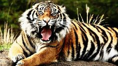 Bengal tiger Royel bengle tiger most Dangerand cute he live in sunderbon of Bangladesh. This tiger only you get bangladesh. Pet Tiger, Bengal Tiger, Where Do Tigers Live, Carnivorous Animals, Wild Animal Wallpaper, Tiger Attack, Tiger Facts, Animal Law, Archetypes