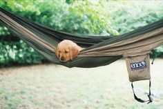 Hammock and a golden retriever puppy? Words cannot express how perfect this picture is.