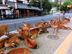 Horde of deer occupying the road at Nara. 奈良公園の鹿達、道路を占領して涼を取る