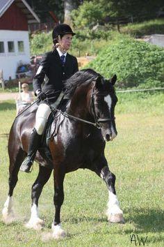 Welsh Cob (section D) stallion Derwen Gladstone