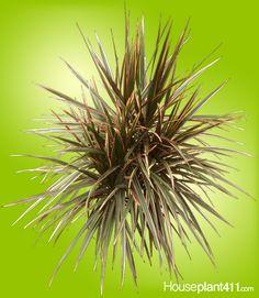 Dracaena Marginata TriColor - Plant Care | AskJudy@Houseplant411 ...