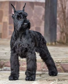 Black Schnauzer, Miniature Schnauzer Puppies, Giant Schnauzer, Schnauzer Puppy, Best Small Dog Breeds, Best Small Dogs, Large Dog Breeds, Best Dogs, Dog Best Friend