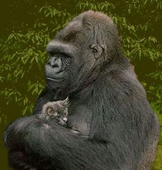 "Koko, who learned to speak American Sign Language at a young age, with one of her ""babies.""  Makes me cry...."
