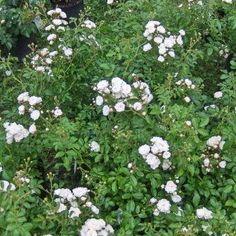 Rose Crystal Fairy Bunddækkende rose   Hvid, Lille, fyldt blomst med let duft. Rig blomstring fra juni/juli til langt ud på efteråret. Anvendes i bede og krukker, som kantbeplantning og bunddække. Også kendt som 'White Fairy'. Kan beskæres med hæksaks. H: 60-80 cm. Til bunddække plantes ca 2-3 planter pr. m2.
