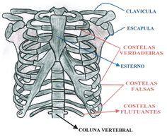 Ossos do torax e ossos escapulares