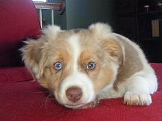 Breed Standards Miniature Aussie Miniature Aussies - 14 to 18 inches tall Weight is aprox. lbs when full grown for the mini's Colors Mini Aussie Shepherd, Australian Shepherd, Miniature Aussie, White Trim, Black White, Blue Merle, Four Legged, Dog Life, Farm Animals