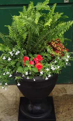Fern Shade Planter Boston or Sword Fern planter for shady porch with lobelia, coleus, and impatiens.Boston or Sword Fern planter for shady porch with lobelia, coleus, and impatiens. Planters For Shade, Fern Planters, Potted Ferns, Front Porch Planters, White Planters, Flower Planters, Shade Plants, Flower Pots, Container Plants