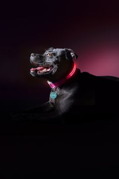 Squeaker Dogs - Pretty Fluffy | Squeaker Poochlight's innovative LED light up pet safety collars and leads could one day save your dog's life - read more at www.prettyfluffy.com