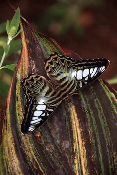 Parthenos Sylvia Butterfly Who loves butterflies? Flying Insects, Bugs And Insects, Butterfly Kisses, Butterfly Art, Beautiful Bugs, Beautiful Butterflies, Moth Caterpillar, Butterflies Flying, Cane Corso