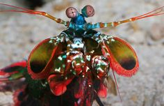 The peacock mantis shrimp is tiny, deadly and gorgeous. Its claws pack a punch as powerful as a .22-caliber bullet, and we just placed one on exhibit in our Splash Zone galleries!
