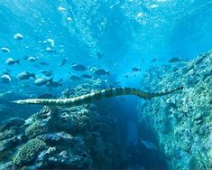 The venomous Niue sea krait patrols the coast of Niue Island in the South Pacific. A single bite can kill a full-grown man, but humans don't seem to be this sea snake's favorite snack.