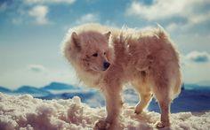Download wallpapers white wolf, wildlife, Antarctica, Arctic wolf, winter, snow