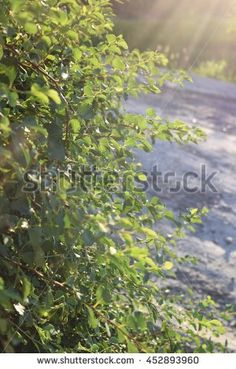 Find Nature Green Bush stock images in HD and millions of other royalty-free stock photos, illustrations and vectors in the Shutterstock collection. Thousands of new, high-quality pictures added every day. Photo Editing, Royalty Free Stock Photos, Illustration, Green, Nature, Pictures, Image, Art, Editing Photos